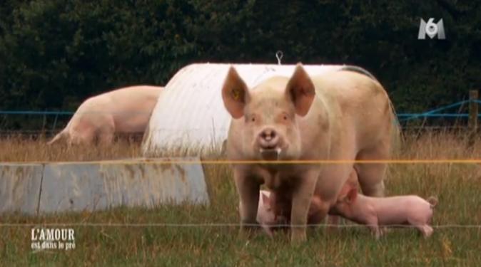 Jacky élève des cochons en plein air