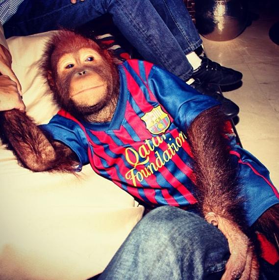 Gucci l'orang-outan fan du FC Barcelone !